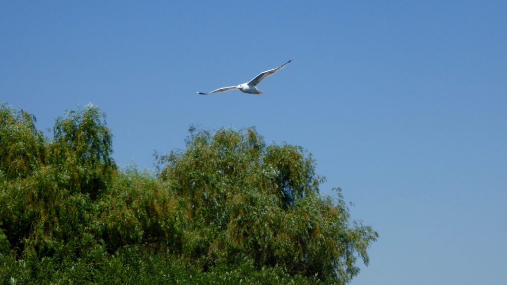 Albatros im Flug