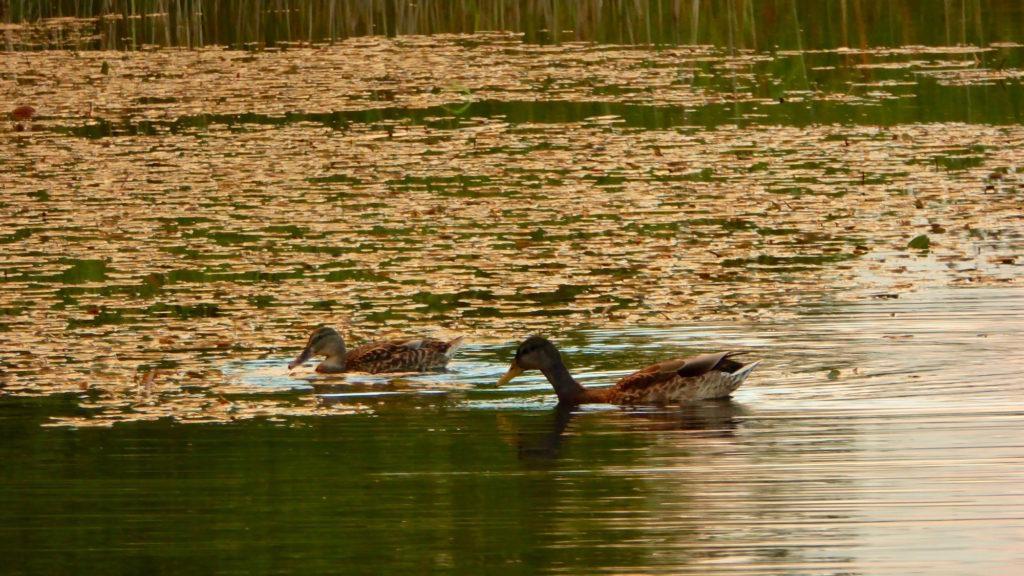 Entenpaar beim Gründeln