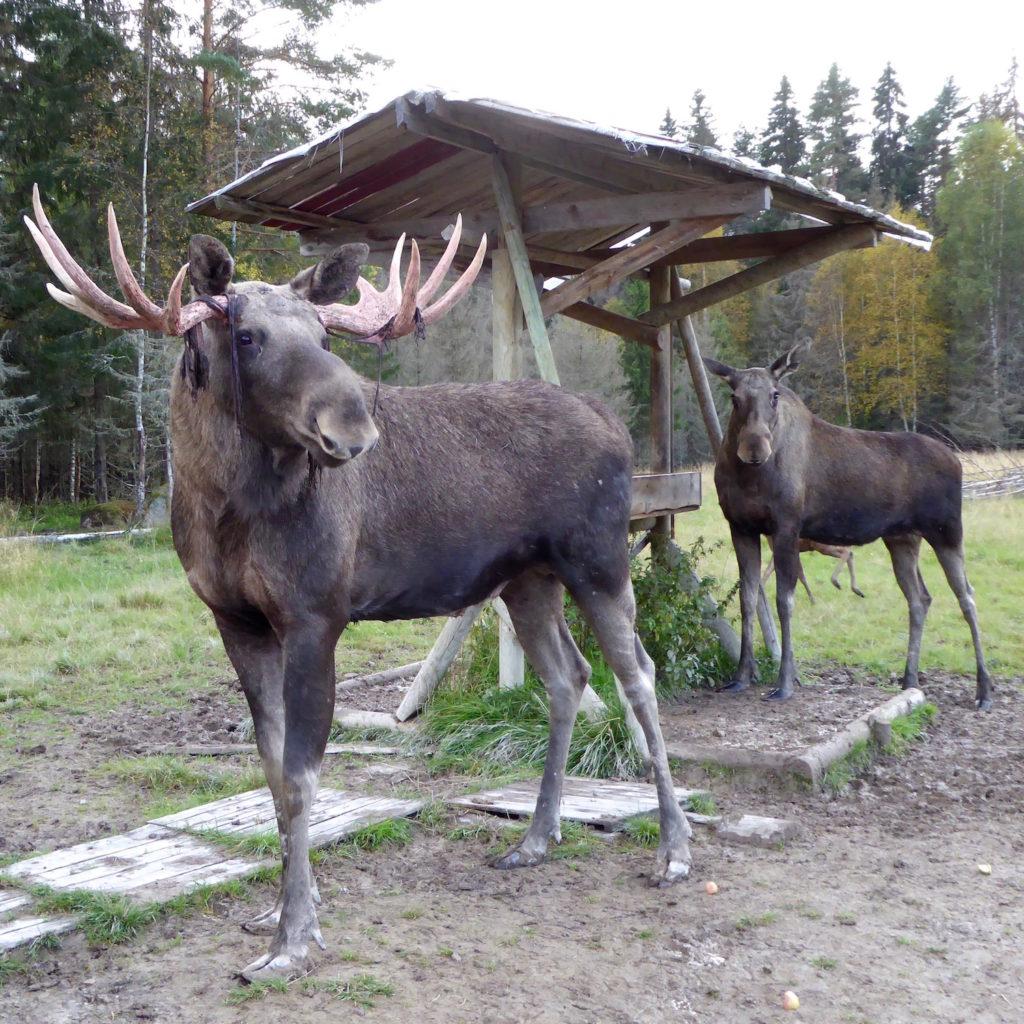 Elchbulle und -kuh am Trog