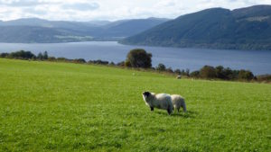Schaafe am Loch Ness