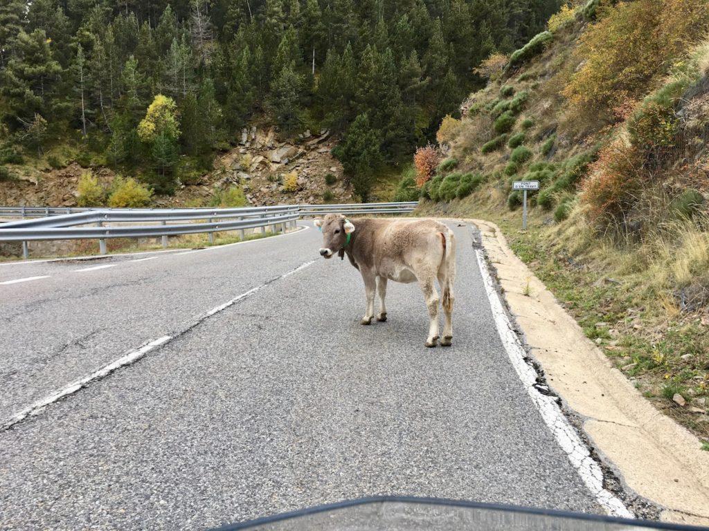 Kuh auf der Strasse bei Tosos, Katalonien, Spanien