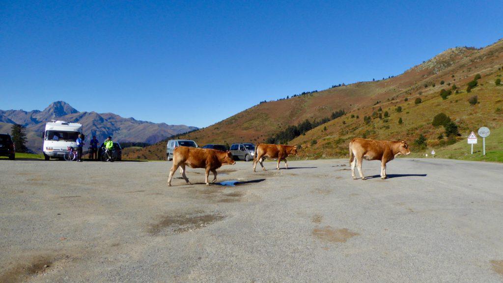 Kühe am Col d'Aspin