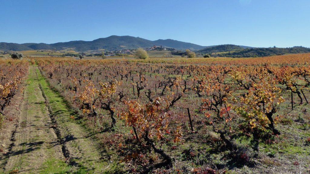 Weinberg bei Latour-de-France, Languedoc, Frankreich