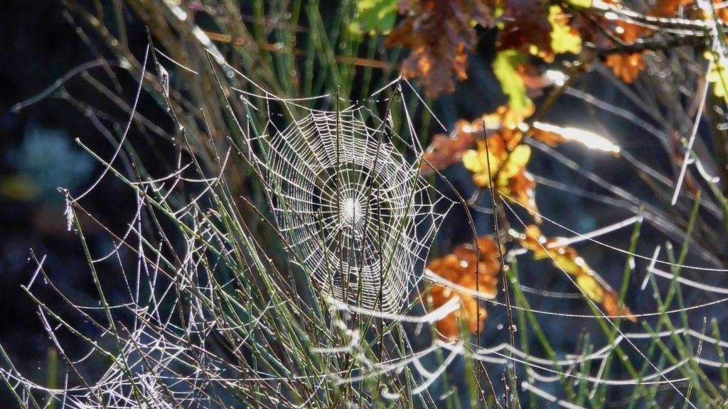 Morgentau in Spinnweben bei Bois du Défens Vieux, Gréoux-les-Bains, Frankreich