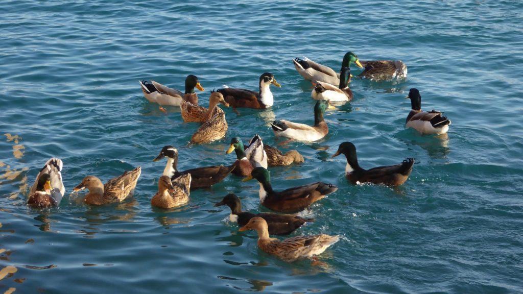 Enten im Hafen von Loano, Ligurien, Italien